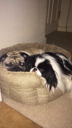 Pug cuddles with Japanese chin. They look just like my Musue and Mogwai!