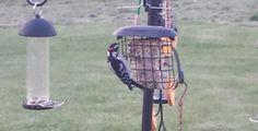 Hairy woodpecker!