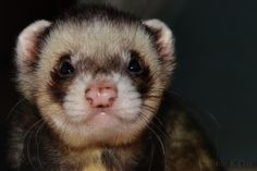 Ferret- Max. He's our oldest at 9 years.