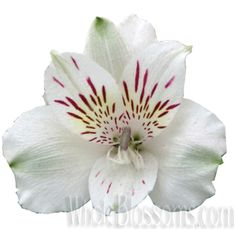 Why waste time out there running everywhere in search for white alstromeria flowers, when you can get the best of the lot here at http://www.wholeblossoms.com/.