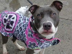 """SUPER URGENT 3/3/14 Manhattan Center -P  BABY TUGS  A0991807 Female gray/white pit mix  2 YRS  44LBS A volunteer favorite! Easy to walk, sweet and pretty, her kennel card is filled with accolades """"great walker"""", """"love her"""" !  Loving, sweet and always happy when someone comes to say hello, whether 2 legged or 4 legged. Happy amusing herself batting a ball around, running to welcome a passing dog, or giving a quick kiss. An easy girl who is simply looking for a new family to take care of."""