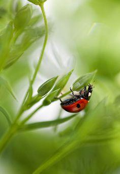 Ladybug, Mandy Disher