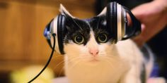 """Survivor's """"Eye of the Tiger"""" may be a perfect cat jam, but most cats couldn't care less about music. Charles T. Snowdon, a psychologist out of the University of Wisconsin-Madison, has developed a new variety of music that """"mimics feline… Funny Animal Pictures, Funny Animals, Pitbull Kennels, Calming Cat, Cute Baby Elephant, Sleeping Kitten, Super Cat, Music Images, Pitbull Terrier"""