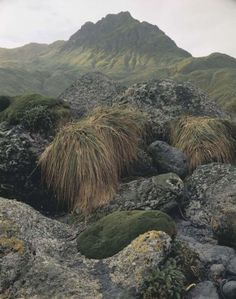"The Wilderness Gallery - Photograph by Peter Dombrovskis | ""Tussock Grass and Cushion Plants, Macquarie Island, Tasmania"" from exhibition in Tasmania, Australia 