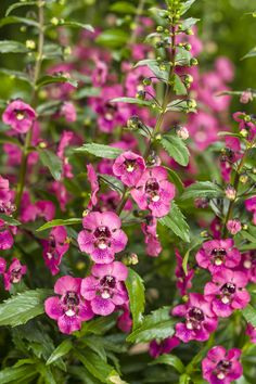 Angelface®+Perfectly+Pink+-+Summer+Snapdragon+-+Angelonia+hybrid  Planted along with another angelonia in large pot.