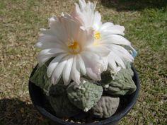 Ariocarpus furfuraceus 'Brebituberosus' flower