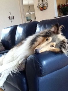 Connor has such a rough life #roughcollie