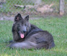 a lady in Palm Bay, FL is trying to start a new breed, Blue Bay Shepherds