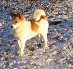 norrbottenspets-lovely-norrbottenspets-dog-breed.jpg (1517×1425)