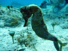 Seahorse. Cozumel Mexico