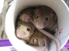 To get rid of mice or rats : Sprinkle black pepper in places where you find mice or rats. They will run away.
