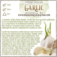 Legend holds that garlic will repel and sometimes even harm vampires, demons, and werewolves, but let's be honest: Eat enough garlic, and you'll probably repel just about anybody! // #kitchenwitch #garlic #protection #courage #luck #hecate #medicine #defense #magick #garden Wiccan, Magick, Witchcraft, Plant Magic, Kitchen Witchery, Werewolves, Tarot, Journals, Garlic