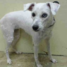 SAFE - 08/19/14 Brooklyn Center   LUNA - A1010595 Pulled by Hudson Valley Animal Rescue and Sanctuary Please honor your pledges: http://www.hvars.org/contributions/  FEMALE, WHITE, POODLE MIN, 1 yr STRAY - STRAY WAIT, NO HOLD Reason ABANDON  Intake condition EXAM REQ Intake Date 08/14/2014, From NY 11212, DueOut Date 08/17/2014 https://www.facebook.com/Urgentdeathrowdogs/photos/pb.152876678058553.-2207520000.1408568643./857373380942209/?type=3&theater