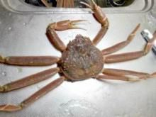 The 'Deadliest Catch' fleet will be going after opilio crab tonight.