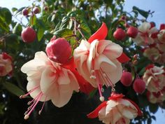 10 seeds Pink / White Perennial Shrub Fuchsia Seeds FREE Shipping USA Seller