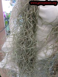 Spanish moss - How to grow & care Moss Plant, Epiphyte, Spanish Moss, Season Colors, Air Plants, Succulents, Herbs, Succulent Plants, Herb