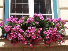 6 sfaturi utile pentru a avea petunii pline de flori