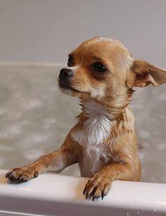 my chihuahua milo s bath time