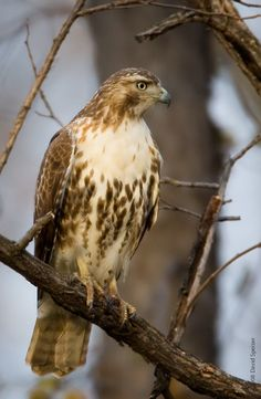Red-tailed hawks we often see them picking up snakes, lizards and small squirrels in the backyard