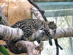 More tired...Jaguar...