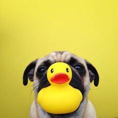 Little Pug and Mr. Ducky