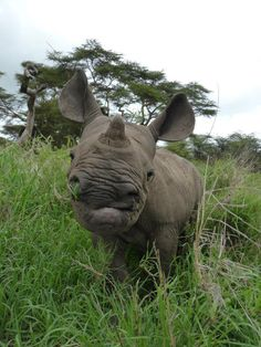 I am a tiny little baby rhino and I am officially critically endangered likely to disappear from the Earth within your generation. Photographer Unknown by especiallyafrica Cute Baby Animals, Animals And Pets, Funny Animals, Wild Animals, Mundo Animal, My Animal, Baby Rhino, My Bebe, Tier Fotos