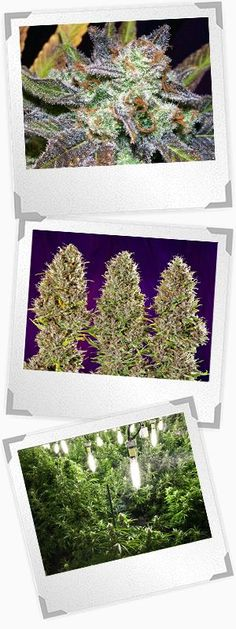 Most growers give their grow phase marijuana plants 18 hours of light per day, but is 24 hours per day better?