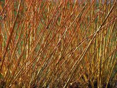 Better use of entire biomass of willow www. Better use of entire biomass of willow w Succulent Gardening, Container Gardening, Basket Willow, Mermaid Illustration, Comment Planter, Willow Branches, Nature Aesthetic, Drought Tolerant Plants, Plantation