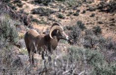 Bighorn Ram of the Rio Grande del Norte National Monument........................ http://brittrunyon.com/