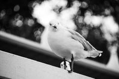 Seagull - Sandgate, QLD, Australia