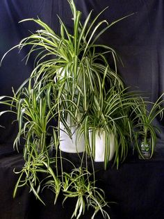 Spider plants growing in sub-irrigated planters made from recycled containers by GreenScaper, via Flickr
