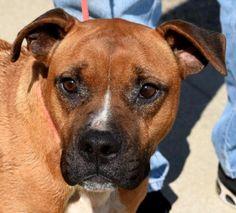 Goldie female Pit Bull Terrier & Retriever Mix. dogsandpupsdaily
