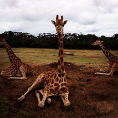 Do you know which is the tallest of all mammals? It's the giraffe! Male giraffes reach a height of about 5.5 metres and females about 5 metres.   www.zoo.org.au