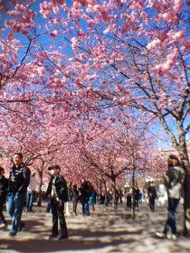 Hanami in Sweden The cherry trees are currently in bloom in Stockholm, Sweden - it's hanami season! To view them you have to hurry up, because they dont bloom for very long. If you are in the Stockholm area at the moment, make sure to visit Kungsträdgården, because this is a beautiful sight that you don't want to miss.  Cherry Flower Day / Sakura Matsuri Like previous years, there will be a Cherry Flower Day celebration in Stockhom this year as well. It will take place on April 26 in ...