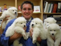 Great Pyrenees puppies.