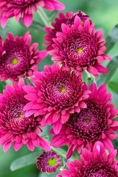 Chrysanthemum - Smokey Purple