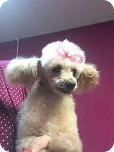 New York, NY - Poodle (Miniature). Meet Leona, a dog for adoption. http://www.adoptapet.com/pet/16982609-new-york-new-york-poodle-miniature