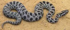 serpente-a-sonagli.jpg (625×272)