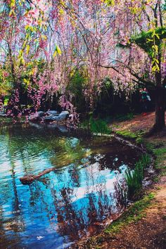 Cherry blossom tree viewing at Kariya Park in Mississauga, Ontario, Canada. A tranquil Japanese inspired garden in the bustling city of Mississauga in Toronto. #cherryblossomtree #cherryblossom #mississauga #ontario #canada #travelmore #travel #traveling #travelling #travelitinerary #travelguide #ontariotourism #thingstodo