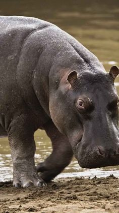 hippopotamus, beach, water, gray, huge