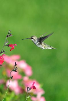 "When early Spanish explorers first encountered hummingbirds in the New World, they called them joyas voladoras–or ""flying jewels."""