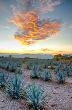 This an Agave plantation. These plants have to be there for about eight years before they can be harvested to be used in the production of Tequila. Mexico Style, Mexico Art, Tequila, Mexico Wallpaper, Mexico Culture, Agave Plant, Arte Horror, Mexico Travel, Beautiful Places