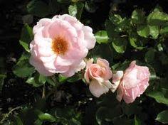 istuta ruusut kohopenkkiin,ei kärsi talvimärkyydestä,nauttivat keväisin lämpenevästä maasta.Kalkitse,levitä kompostimultaa keväisin.Ruohosilppu on hyvä lisäravinne,Levitä kerros hiekkaa tyvelle kosteutta pidättämään.Suojaa ryhmäruusut kevätauringolta varjostuskankaalla.  Istuta ainavihantia kasveja ruusutarhan yhteyteen. Ne keräävät ympärilleen lunta, joka on ruusujen paras talvisuoja.  Levitä syyslannoite jo heinä-elokuun vaihteessa.