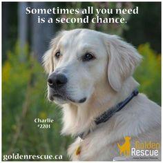 We agree! #secondchancesunday #goldenretriever #rescuedog #adoptdontshop Rescue Dogs, Adoption, Animals, Foster Care Adoption, Animales, Animaux, Animal, Animais