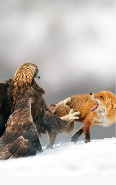 Golden eagle having a discussion with Red fox (by Yves Adams), from Iryna