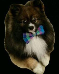 #Repost @bayoubeignet  I'm so cute mommy created a sticker of me... jk I didn't like the background  #LadiesPup #LadiesMan #GentlePup #Gentleman #suave #debonair #pup #puppy #pupper #dog #pom #pomeranian #pomsofinsta #dogsofinsta #Beignet #BayouBeignet #ItsBeignetBetch #BowTie http://ift.tt/2kFddQk