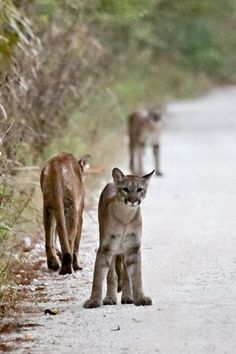 Heather Green photographed a mother panther and two cubs in the Fakahatchee Strand Preserve. One cub began walking toward her.