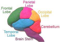 "LOVE LOVE LOVE this!!!!  Playdough brain. Lots of ""brain"" activities for K-12"