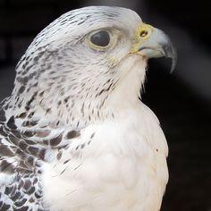 Bald Eagle, Animals, Animales, Animaux, Animal, Animais