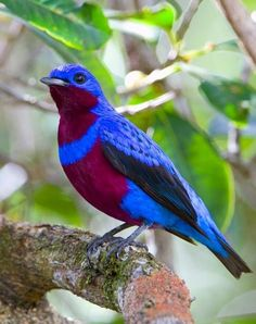 The Banded Cotinga (Cotinga maculata) is a species of bird in the Cotingidae family. It is endemic to south-east Brazil.
